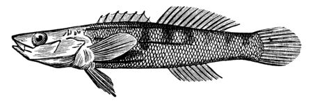 Darter is a small fish resembling the common perch, vintage line drawing or engraving illustration.