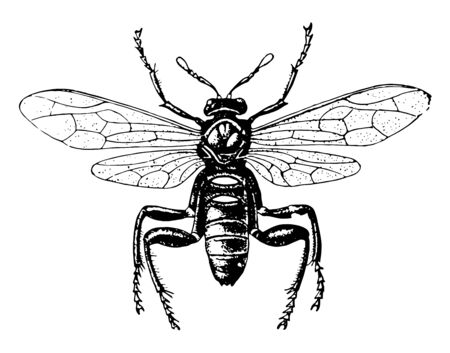 American Sawfly is an insect with an ovipositor resembling a saw blade, vintage line drawing or engraving illustration. Standard-Bild - 133003537