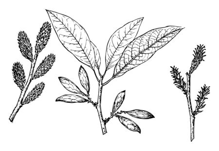 Branches of plants, vintage line drawing or engraving illustration.