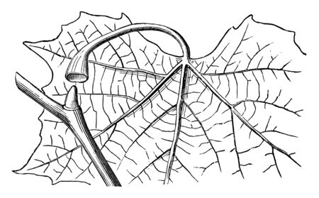 This picture is showing axillary bud.  It is also known as lateral bud. It is basically an embryonic shoot located in the axil of a leafstalk, in Buttonwood or Plane-Tree, vintage line drawing or engraving illustration.