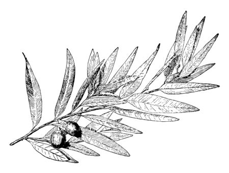 A laurel or a laurel tree is a small evergreen tree with shiny leaves. The leaves are sometimes used to make decorations such as wreaths, vintage line drawing or engraving illustration. Illustration