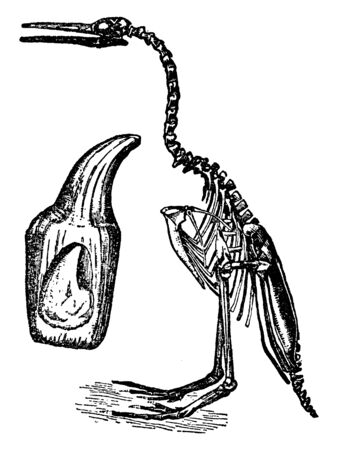 Hesperornis is a genus of flightless aquatic birds that spanned the first half of the Campanian age of the Late Cretaceous period, vintage line drawing or engraving illustration.