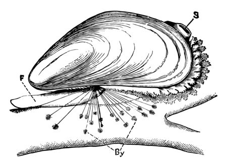 Blue Mussel is a medium sized edible marine bivalve mollusc in the family Mytilidae, vintage line drawing or engraving illustration. Stock Illustratie