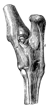 Tarsus Ligaments is about 4 mm in length and 2 mm in breadth and the frontal process of the maxilla in front of the lacrimal groove, vintage line drawing or engraving illustration.