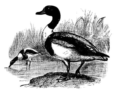 Common Shelduck is a duck distinguished by its red bill and white, vintage line drawing or engraving illustration.