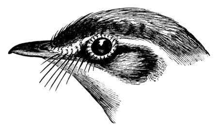The head of a bird in which bill on the side of a bird head is called the lore, vintage line drawing or engraving illustration.