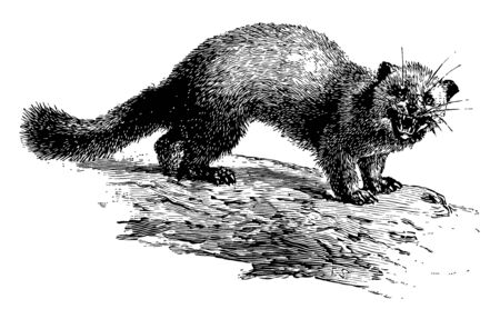 American Marten is a North American member of the Mustelidae family, vintage line drawing or engraving illustration.