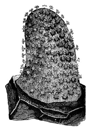 Cydonium mulleri is a genus of the Alcyonidae, vintage line drawing or engraving illustration.