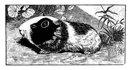 Guinea Pig is a species of rodent that is commonly found as a household pet, vintage line drawing or engraving illustration. Illustration