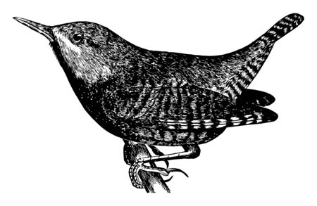 This image represents Winter Wren, vintage line drawing or engraving illustration. Ilustração