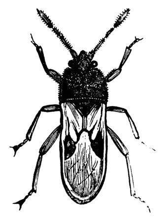 Chinch Bug is the popular name of certain fetid American hemipterous insects of the genus Blissus, vintage line drawing or engraving illustration. Иллюстрация
