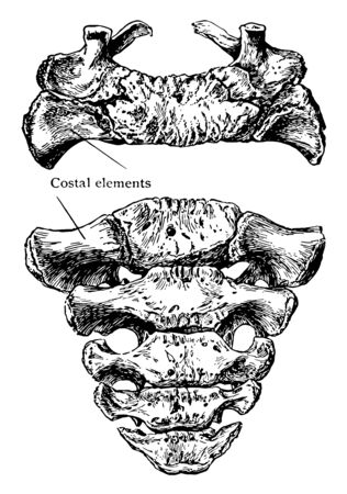 This illustration represents Superior and Anterior Surface of Sacrum, vintage line drawing or engraving illustration.