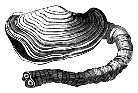 Panopaea australis is a large analogous species found at Port Natal on the coast of Africa, vintage line drawing or engraving illustration.