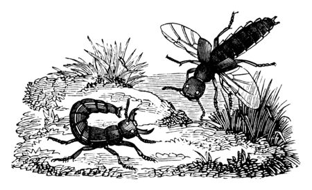 Cocktails where the larvae are very similar to the perfect insects, vintage line drawing or engraving illustration.