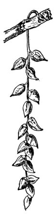 This shows the fruiting aments of the Balsam, Populus Balsamifera, vintage line drawing or engraving illustration. 向量圖像