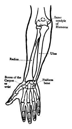 Cette illustration représente la vue de face des os de l'avant-bras, un dessin de ligne vintage ou une illustration de gravure. Vecteurs