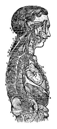 This illustration represents The Sympathetic Ganglions and their Connection to other Nerves, vintage line drawing or engraving illustration. Illustration