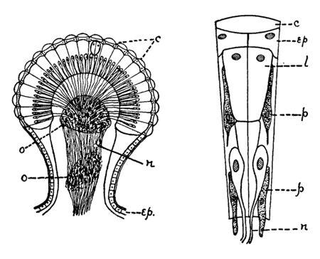 Anthropod is an invertebrate animal having an exoskeleton, vintage line drawing or engraving illustration.