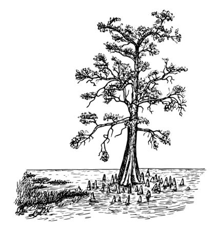 This is an image of bald cypress in swamp form. This image is showing the tree in the lake with aerating roots or knees, vintage line drawing or engraving illustration. Ilustração
