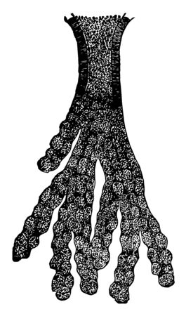 This illustration represents Compound Tubular Gland, vintage line drawing or engraving illustration.
