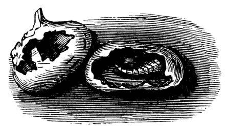 This illustration represents Maize Kernels Destroyed by Maggots, vintage line drawing or engraving illustration.