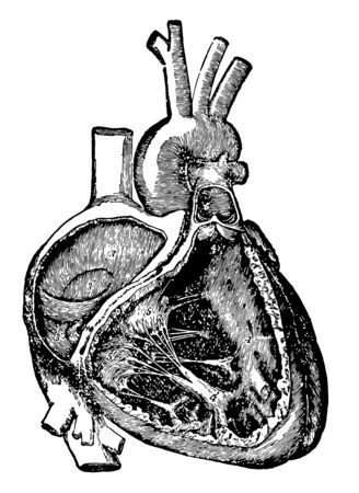 This diagram represents Cavities of the right side of heart with their valves, vintage line drawing or engraving illustration.