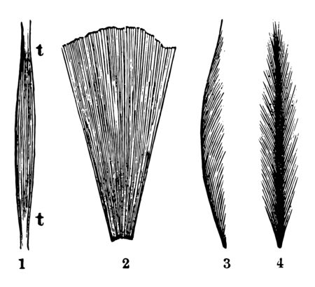 This illustration represents Representation of the Direction and Arrangement of the Muscle Fibers, vintage line drawing or engraving illustration.