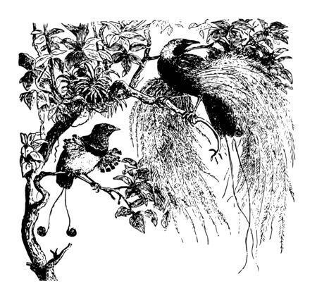 Birds of Paradise produce some of the most beautiful feathers, vintage line drawing or engraving illustration.