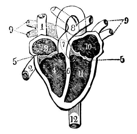 This diagram represents heart with its several chambers exposed and the vessels in connection with them, vintage line drawing or engraving illustration. Ilustração