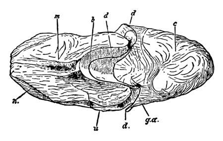 This illustration represents Female Nautilus without Shell, vintage line drawing or engraving illustration. Ilustração