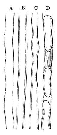 This illustration represents Primitive Nerve Fibers, vintage line drawing or engraving illustration.