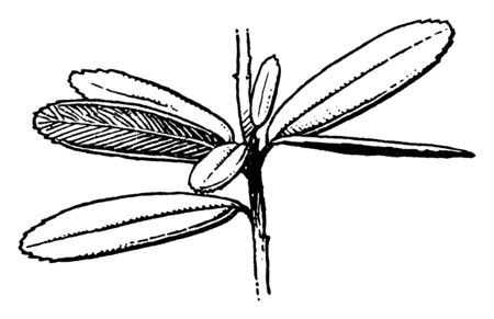 A picture of Ampelothamnus leaves which are toothed near the apex, vintage line drawing or engraving illustration.