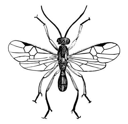 Male Adult Parasite Wasp use other insects as hosts until they are eventually killed, vintage line drawing or engraving illustration. Illustration