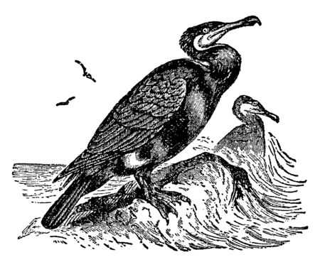 Double crested Cormorant is a member of the cormorant family of seabirds, vintage line drawing or engraving illustration.