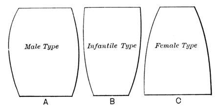 Schematic outlines of the abdomen, vintage line drawing or engraving illustration. Reklamní fotografie - 133007721