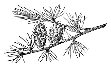 Pine cones with needles facing upright on a branch, vintage line drawing or engraving illustration.