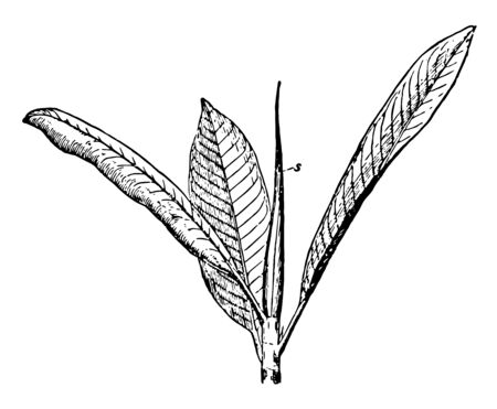 Indian Rubber plant with long leaves, vintage line drawing or engraving illustration.