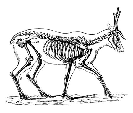 Skeleton of the Deer in which the bones in the extremities of this the fleetest of quadrupeds are inclined very obliquely towards each other, vintage line drawing or engraving illustration. 向量圖像
