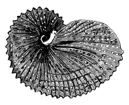 Paper Nautilus Octopuses are a group of pelagic octopuses, vintage line drawing or engraving illustration.