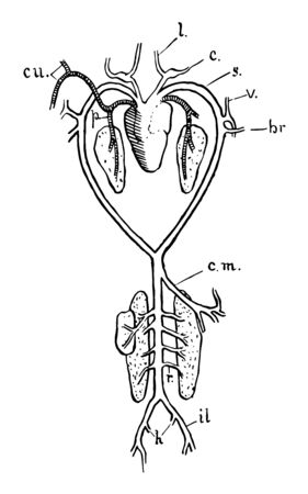 Arterial system of frog are Lingual and carotid, vintage line drawing or engraving illustration. Çizim