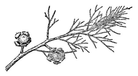 This is the branch of Arizona Cypress with fruits. This species of cypress is known as Arizona Cypress in arid and is called Blue Cypress in the southeastern state, vintage line drawing or engraving illustration. Ilustração