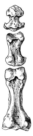 This illustration represents Phalanges of Second Toe, vintage line drawing or engraving illustration.