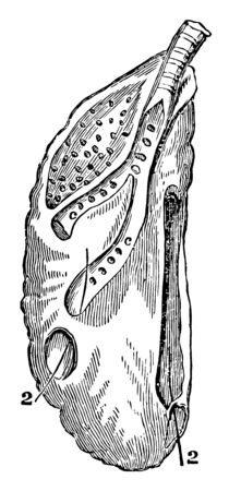 The Right Lung of a Goose which is confined to the back wall of the chest, vintage line drawing or engraving illustration.