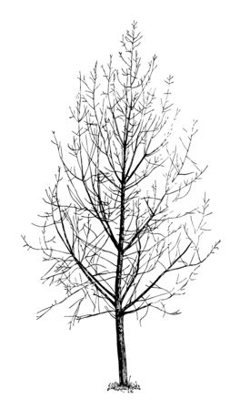 This illustration represents Carolina Poplar Not Pruned Since Setting Out, vintage line drawing or engraving illustration.