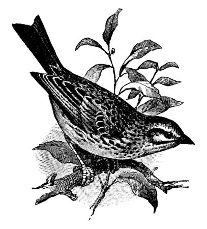 Savannah Sparrow is a small passerine bird, vintage line drawing or engraving illustration.
