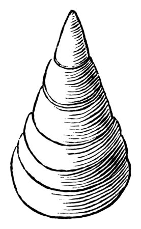 Lingula Antigua is a little bivalve shell belonging at the bottom of the class Brachiopoda, vintage line drawing or engraving illustration.
