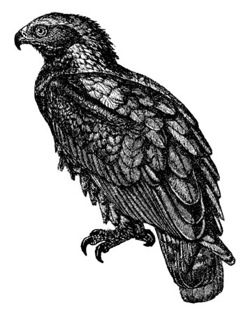 Golden Eagle is one of the best known birds of prey in the Northern Hemisphere, vintage line drawing or engraving illustration. 向量圖像