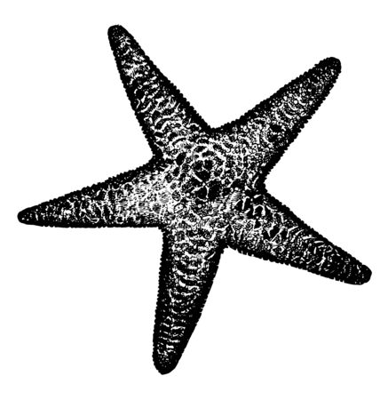Spiny sea star commonly known as Marthasterias. It is native to the eastern Atlantic Ocean. These are fairly large starfish with a small central disc and five slender, vintage line drawing or engraving illustration.