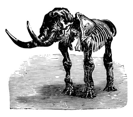 Mastodon giganteum having teeth of a relatively primitive form and number, vintage line drawing or engraving illustration.