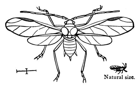 Aphid are tiny insects that are harmful to plants, vintage line drawing or engraving illustration.